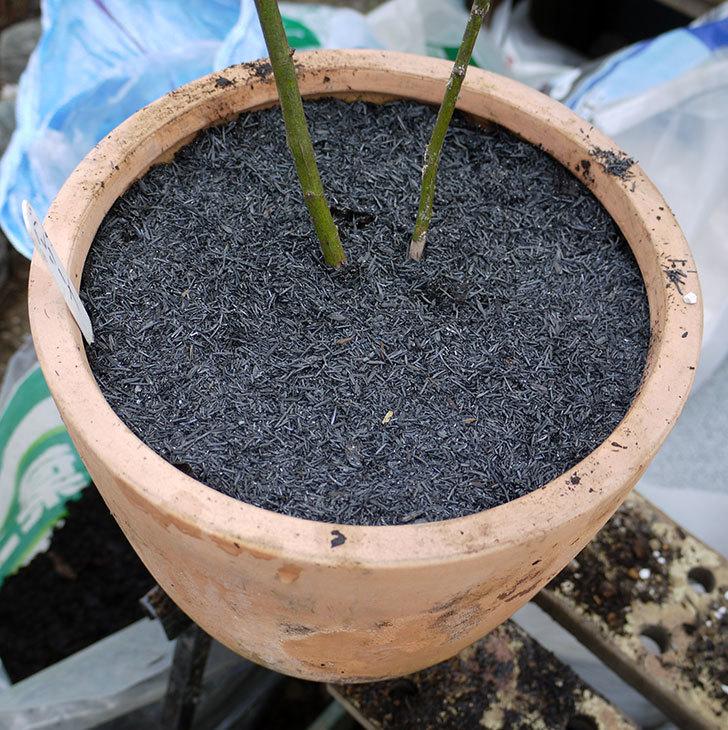 バレリーナ(ツルバラ)を鉢に植えた。2017年-8.jpg