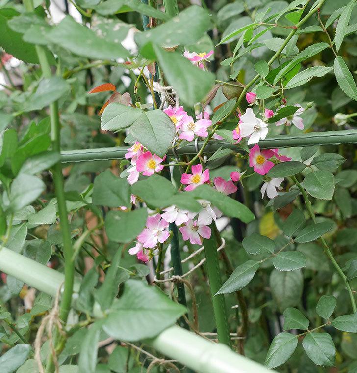 バレリーナ(半ツルバラ)の秋花が咲いた。2019年-3.jpg