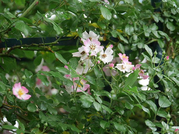 バレリーナ(半ツルバラ)の花が咲いた。2020年-001.jpg