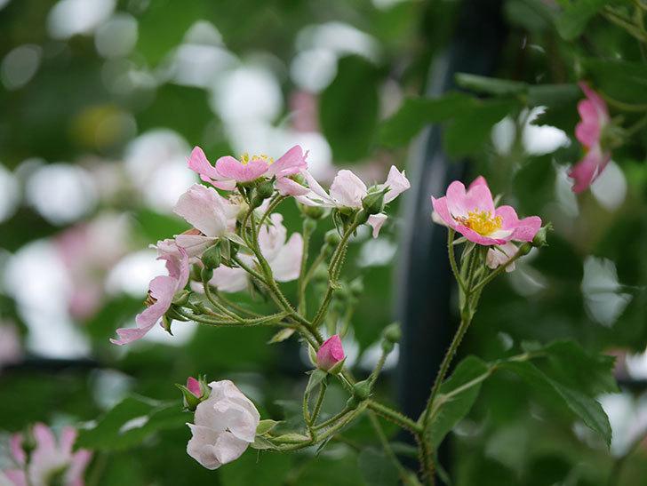 バレリーナ(半ツルバラ)の花が咲いた。2020年-003.jpg
