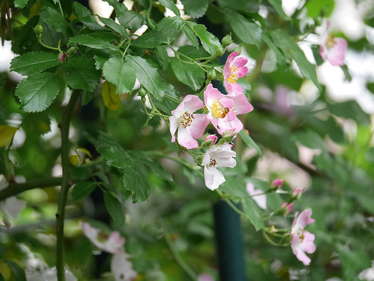バレリーナ(半ツルバラ)の花が咲いた。2020年-004.jpg