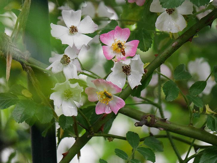 バレリーナ(半ツルバラ)の花が咲いた。2020年-007.jpg