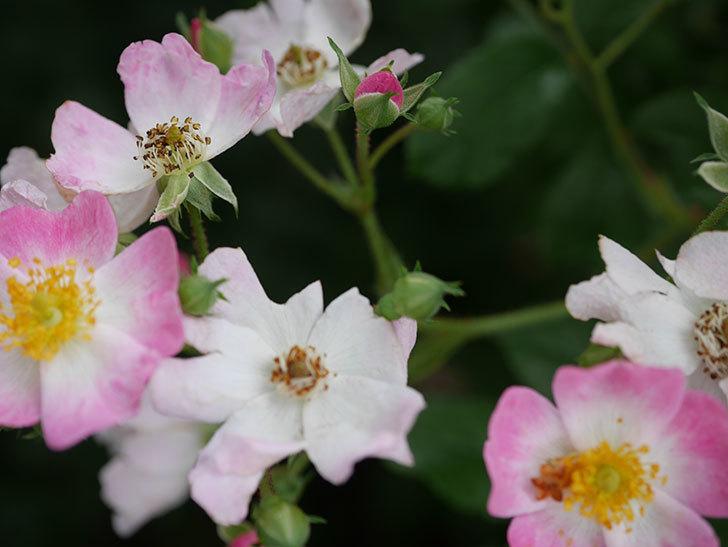 バレリーナ(半ツルバラ)の花が咲いた。2020年-009.jpg