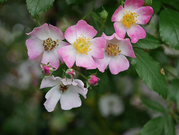 バレリーナ(半ツルバラ)の花が咲いた。2020年-010.jpg