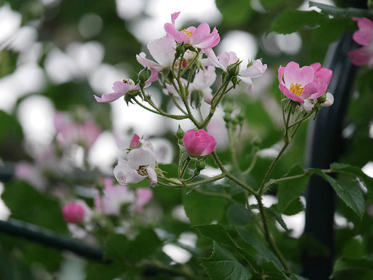 バレリーナ(半ツルバラ)の花が咲いた。2020年-012.jpg