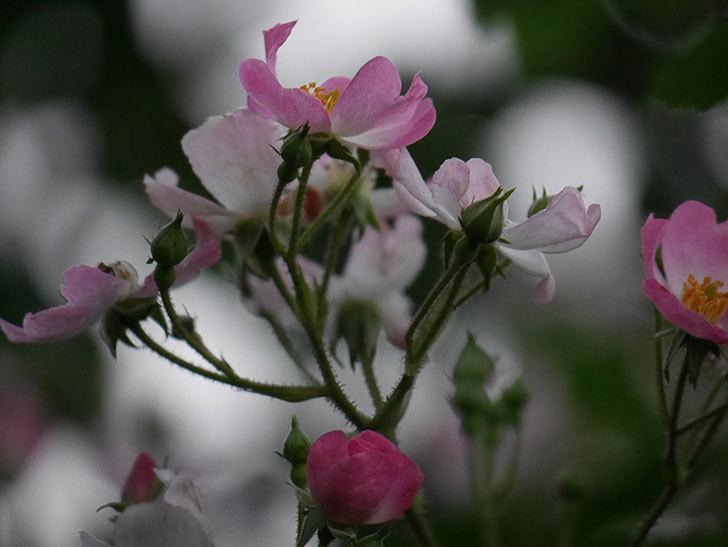 バレリーナ(半ツルバラ)の花が咲いた。2020年-013.jpg