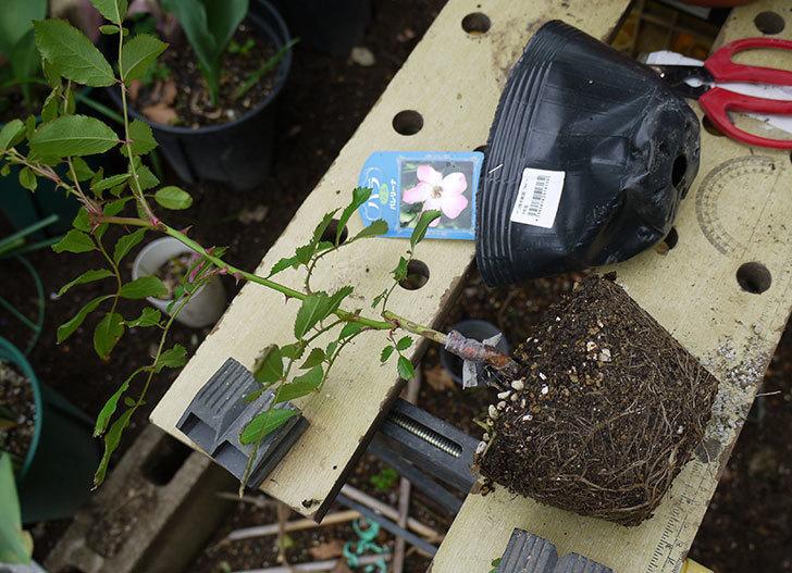 バレリーナ(ツルバラ)の新苗を鉢に植えた。2016年-2.jpg