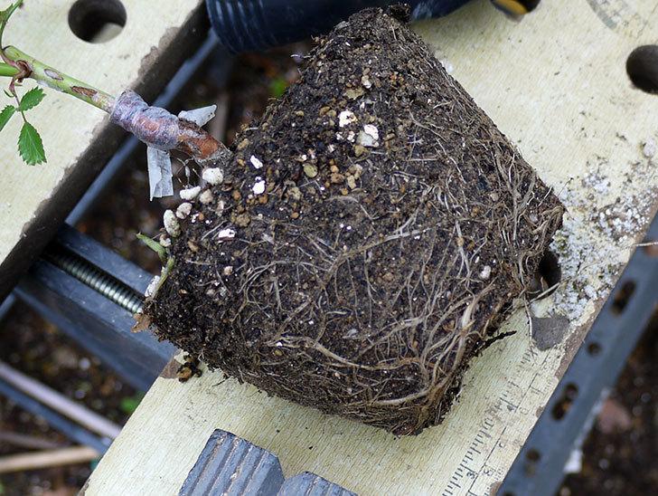 バレリーナ(ツルバラ)の新苗を鉢に植えた。2016年-3.jpg