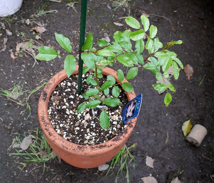 バレリーナ(ツルバラ)の新苗を鉢に植えた。2016年-4.jpg