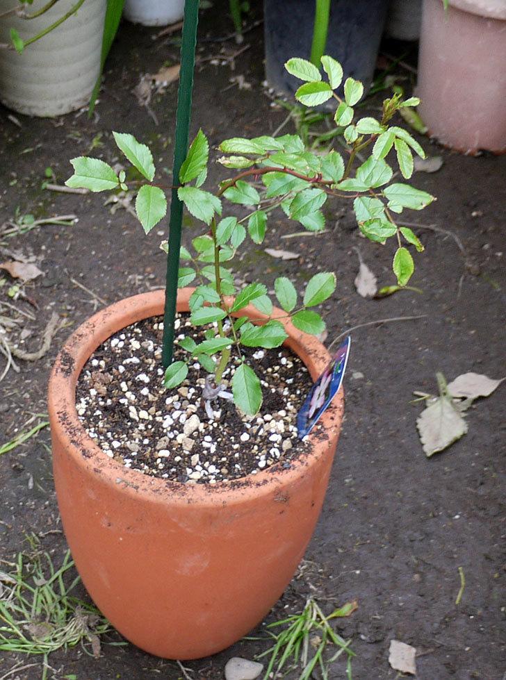 バレリーナ(ツルバラ)の新苗を鉢に植えた。2016年-5.jpg