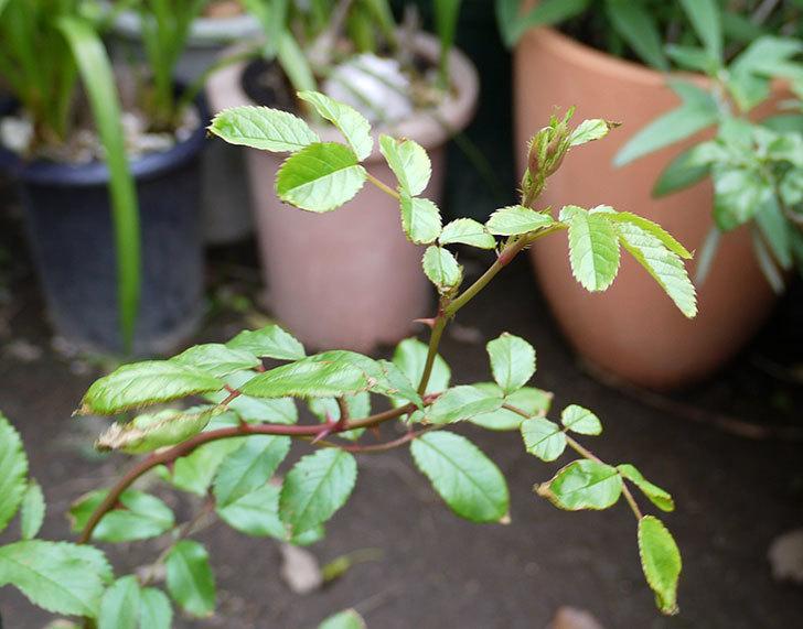 バレリーナ(ツルバラ)の新苗を鉢に植えた。2016年-7.jpg