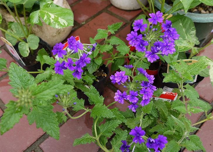 バーベナ-ブルーが咲いた1.jpg