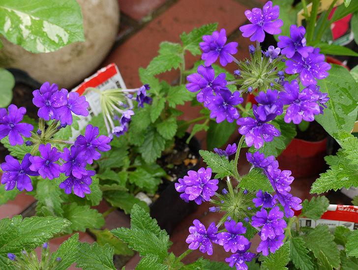 バーベナ-ブルーが咲いた2.jpg