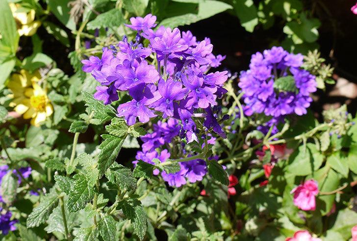 バーベナ-ブルーが咲いた。2015年-1.jpg