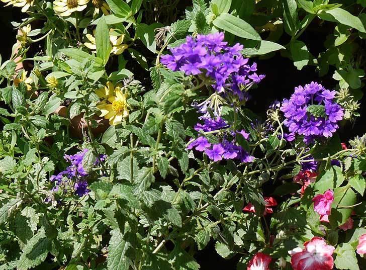 バーベナ-ブルーが咲いた。2015年-2.jpg
