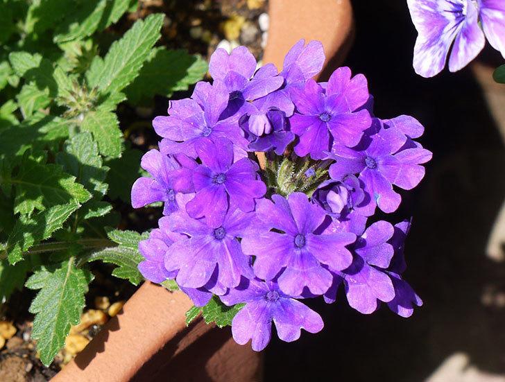 バーベナ-ブルーが咲いた。2016年-2.jpg