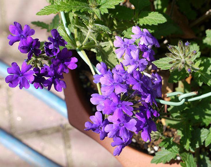バーベナ-ブルーが咲いた。2016年-3.jpg