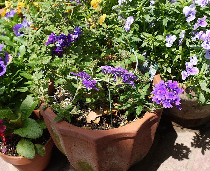 バーベナ-ブルーが咲いた。2016年-4.jpg
