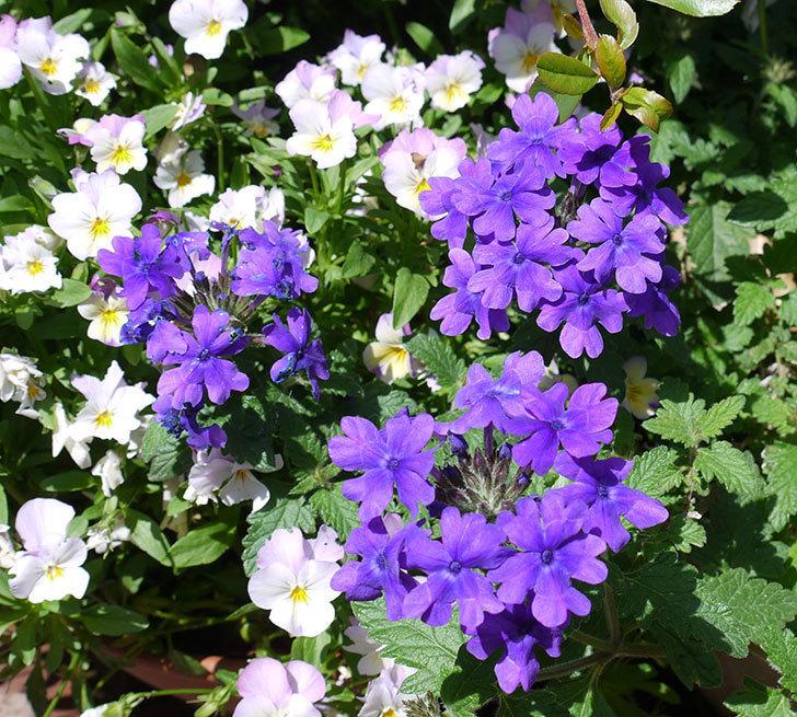 バーベナ-ブルーが咲いた。2017年-1.jpg