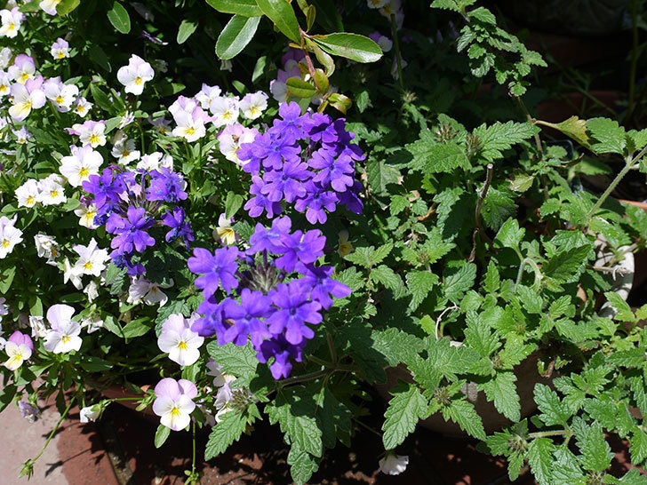 バーベナ-ブルーが咲いた。2017年-2.jpg