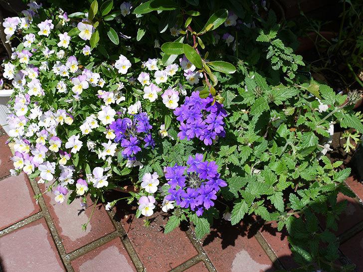 バーベナ-ブルーが咲いた。2017年-3.jpg