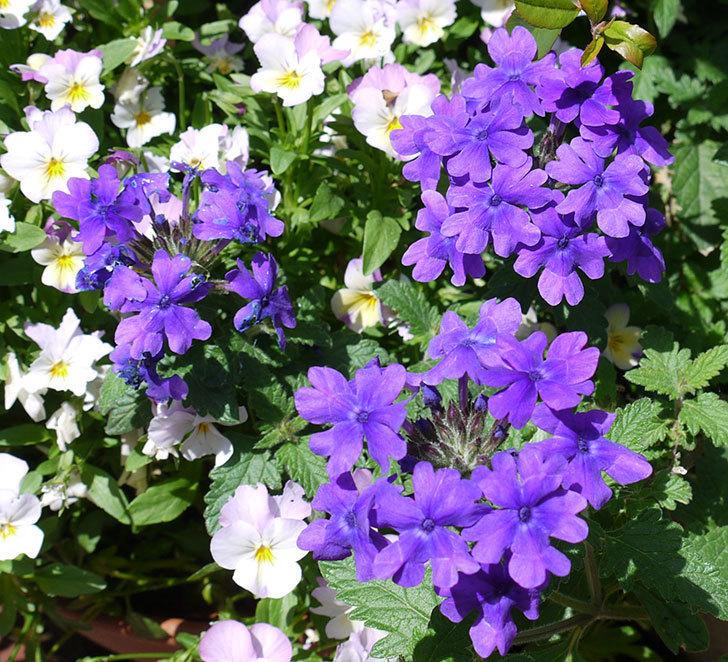 バーベナ-ブルーが咲いた。2017年-4.jpg