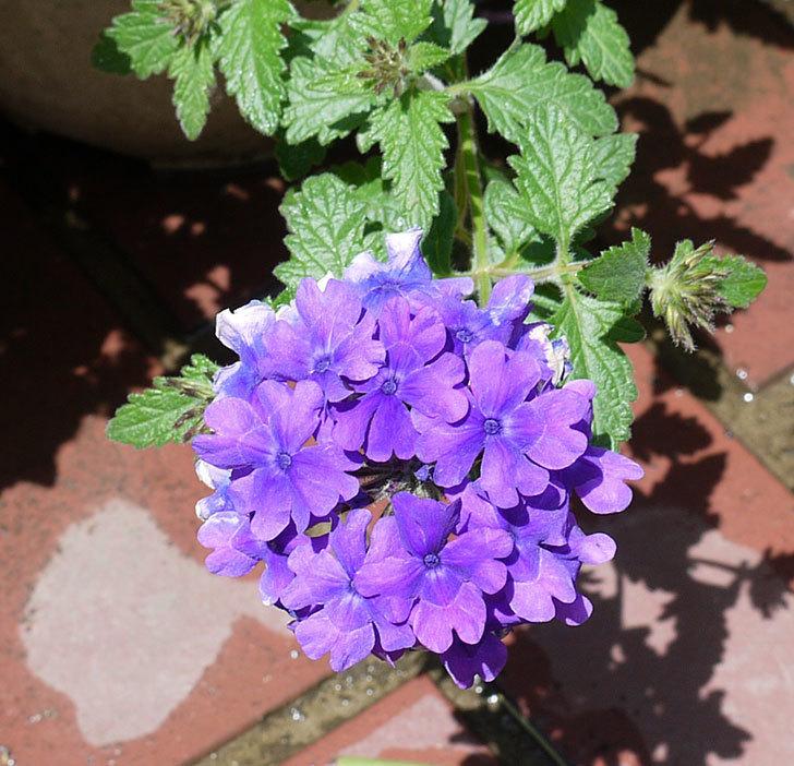 バーベナ-ブルーが咲いた。2017年-5.jpg