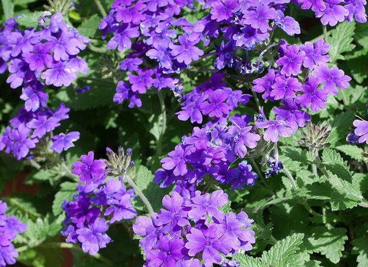 バーベナ-ブルーが咲いた。2018年-2.jpg