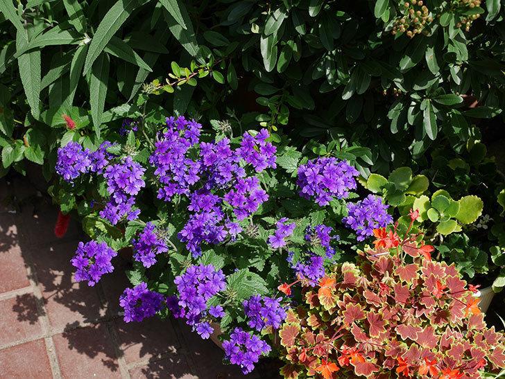 バーベナ-ブルーが咲いた。2018年-3.jpg