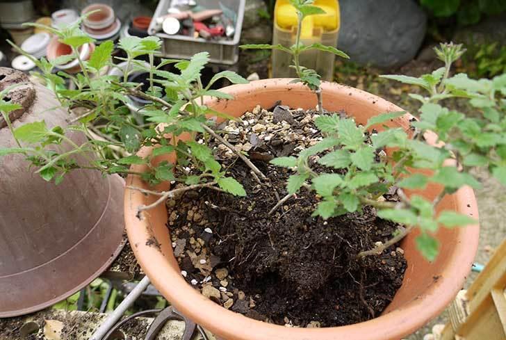 バーベナ-ブルーを大きい鉢に植え替えた1.jpg