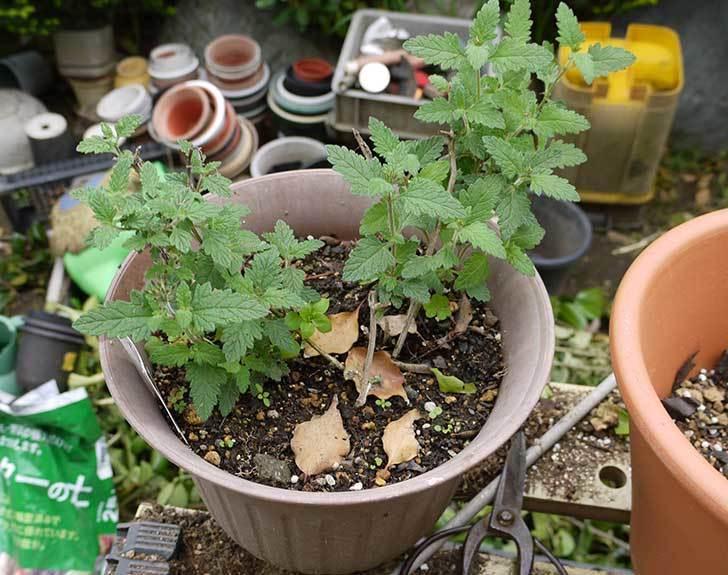 バーベナ-ブルーを大きい鉢に植え替えた2.jpg