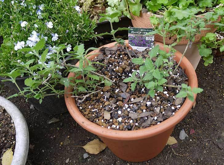 バーベナ-ブルーを大きい鉢に植え替えた5.jpg