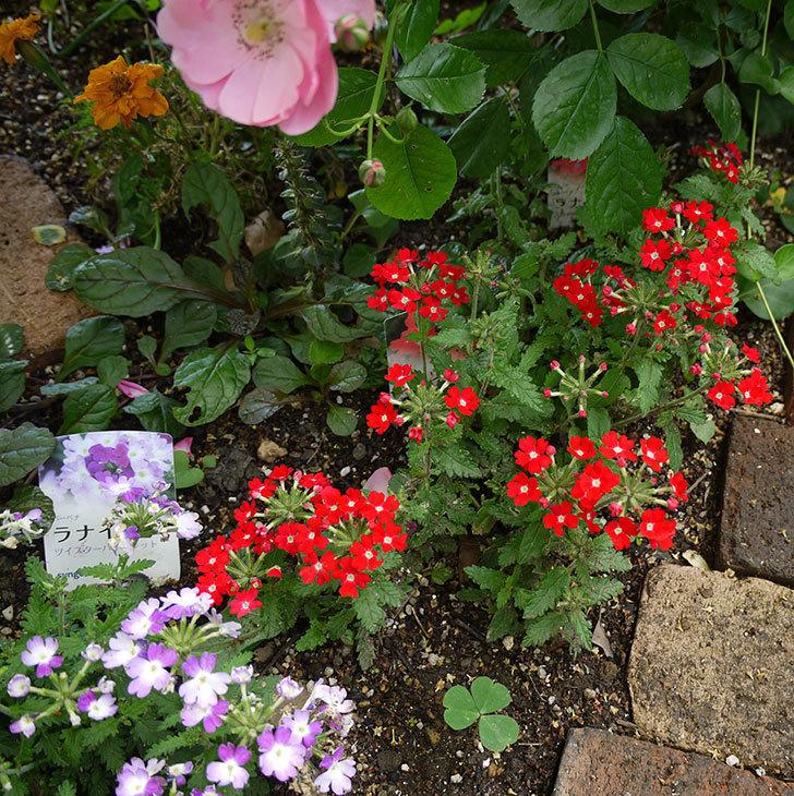 バーベナ-ラナイ-スカーレットウィズアイの花が咲いた。2016年-3.jpg