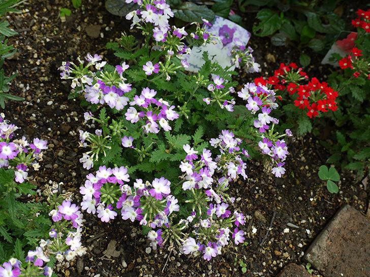 バーベナ-ラナイ-スカーレットウィズアイの花が咲いた。2016年-4.jpg