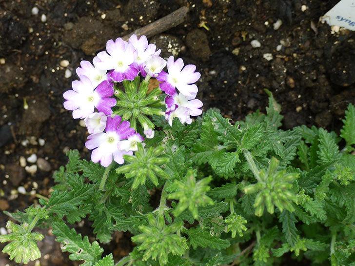 バーベナ-ラナイ-ツイスターバイオレットが咲いた。2016年-1.jpg