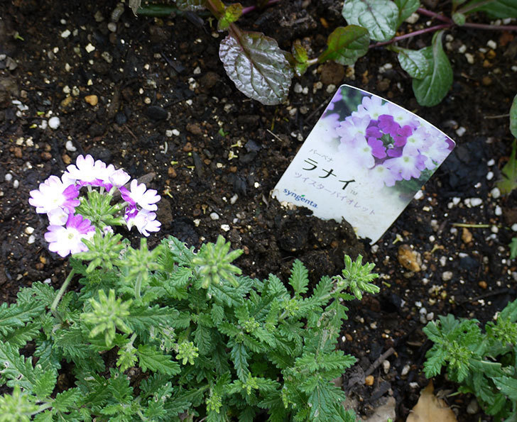 バーベナ-ラナイ-ツイスターバイオレットが咲いた。2016年-3.jpg