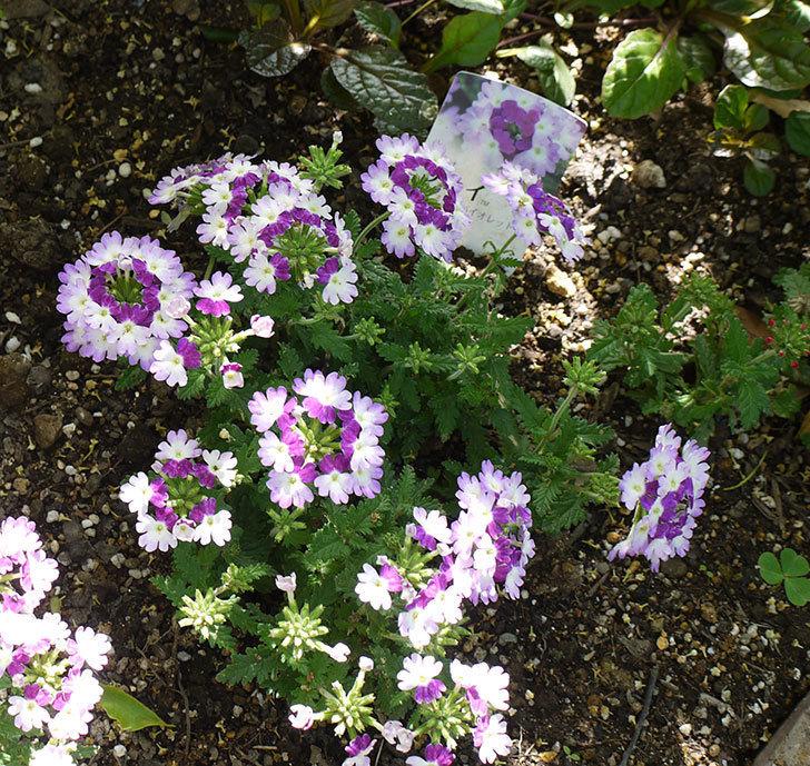 バーベナ-ラナイ-ツイスターバイオレットの花が増えてきた。2016年-1.jpg