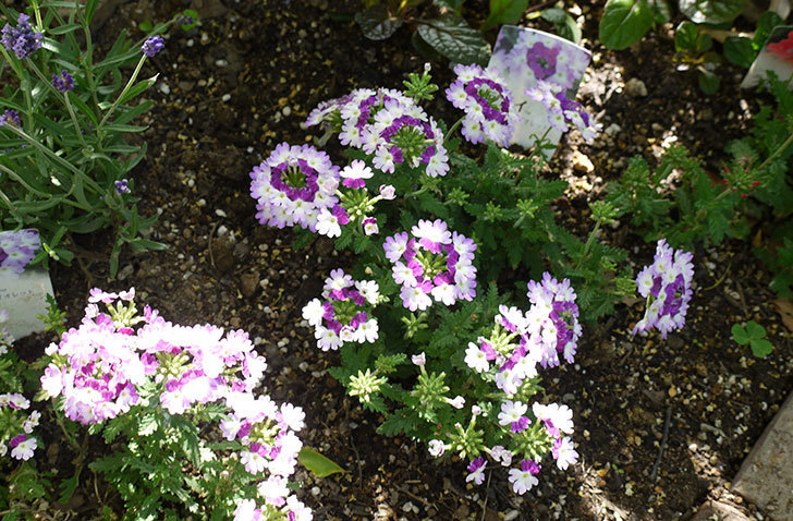 バーベナ-ラナイ-ツイスターバイオレットの花が増えてきた。2016年-2.jpg