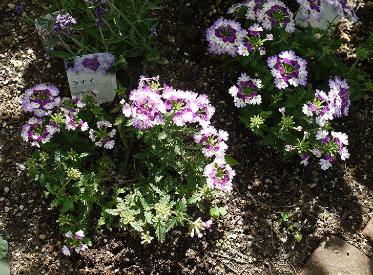 バーベナ-ラナイ-ツイスターバイオレットの花が増えてきた。2016年-3.jpg
