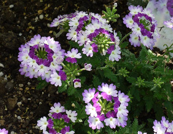 バーベナ-ラナイ-ツイスターバイオレットの花が増えてきた。2016年-4.jpg