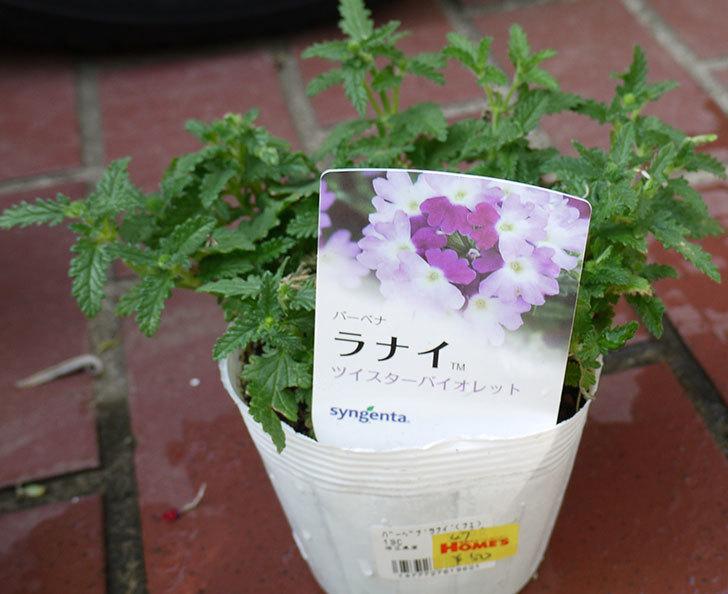 バーベナ-ラナイの苗がホームズで50円だったので10個買って来た。2016年-12.jpg