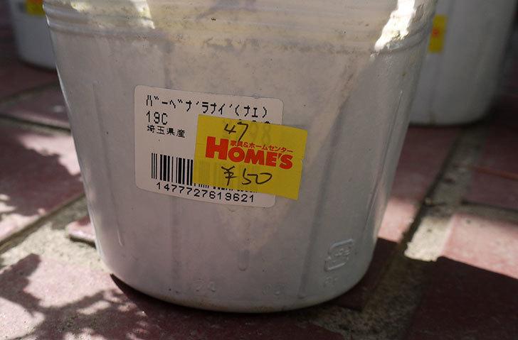 バーベナ-ラナイの苗がホームズで50円だったので10個買って来た。2016年-15.jpg
