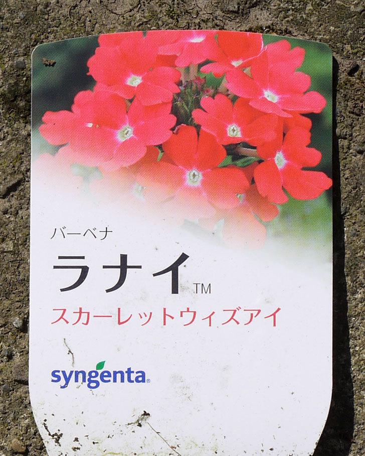 バーベナ-ラナイの苗がホームズで50円だったので10個買って来た。2016年-8.jpg