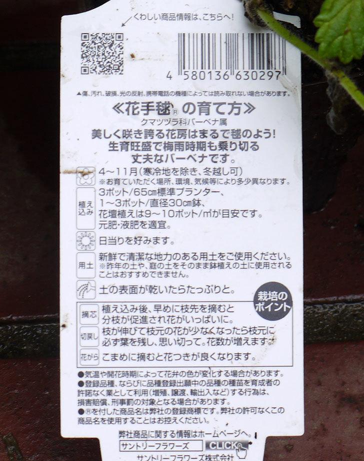バーベナ-花手毬の苗がホームズで100円だったので10個買って来た。2016年-4.jpg