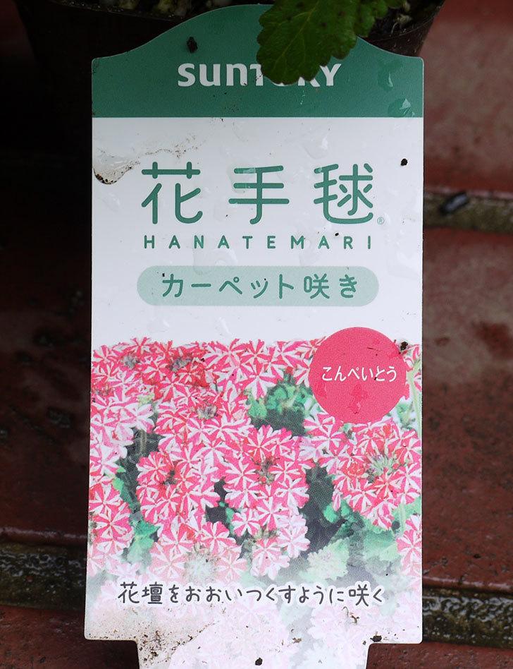 バーベナ-花手毬の苗がホームズで100円だったので10個買って来た。2016年-7.jpg