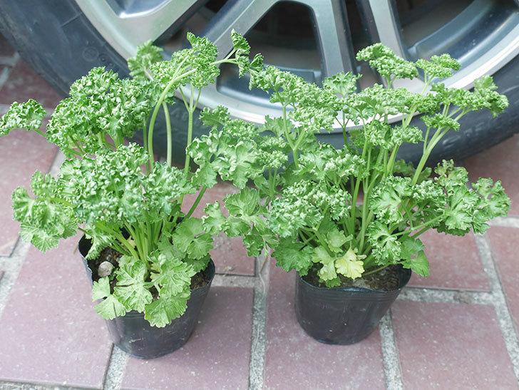 パセリの苗をケイヨーデイツーで2個買って来た。2021年-001.jpg