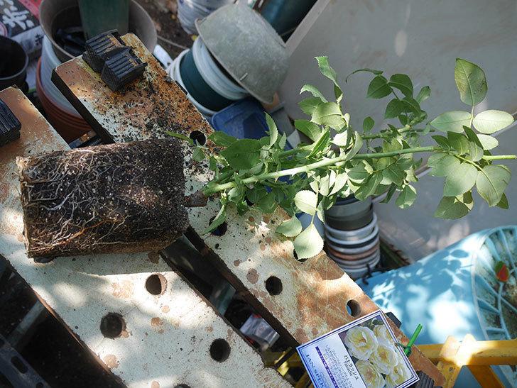 パトラッシュ(Patrache)の新苗を6号ロングスリット鉢に植え替えた。半ツルバラ。2020年-001.jpg