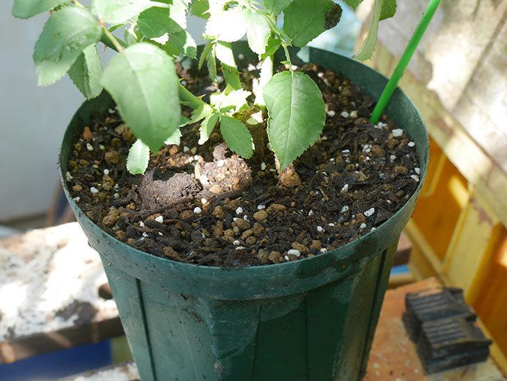パトラッシュ(Patrache)の新苗を6号ロングスリット鉢に植え替えた。半ツルバラ。2020年-007.jpg