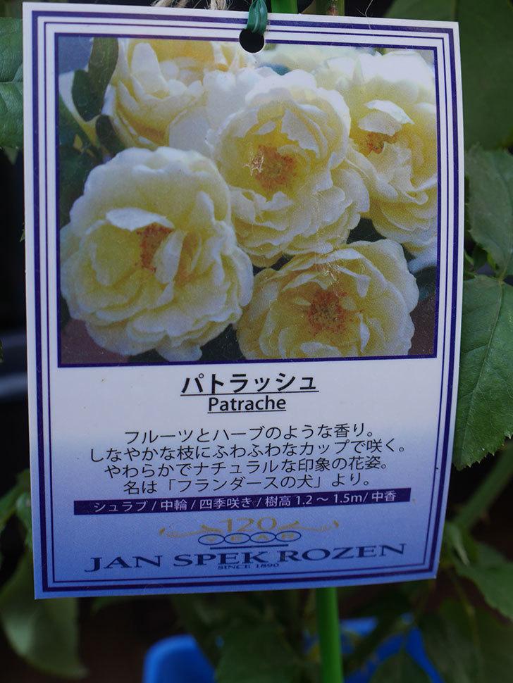 パトラッシュ(Patrache)の新苗を京成バラ園芸ネット通販で買った。半ツルバラ。2020年-001.jpg