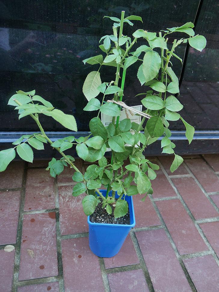 パトラッシュ(Patrache)の新苗を京成バラ園芸ネット通販で買った。半ツルバラ。2020年-002.jpg
